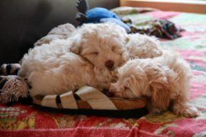 91-labradoodle-welpen-zucht-hundezucht-schweiz-barf-familienhund-allergikerhund