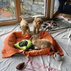 92-labradoodle-welpen-zucht-hundezucht-schweiz-barf-familienhund-allergikerhund