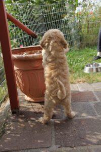 94-labradoodle-welpen-zucht-hundezucht-schweiz-barf-familienhund-allergikerhund