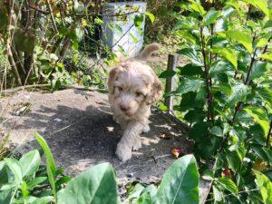 97-labradoodle-welpen-zucht-hundezucht-schweiz-barf-familienhund-allergikerhund